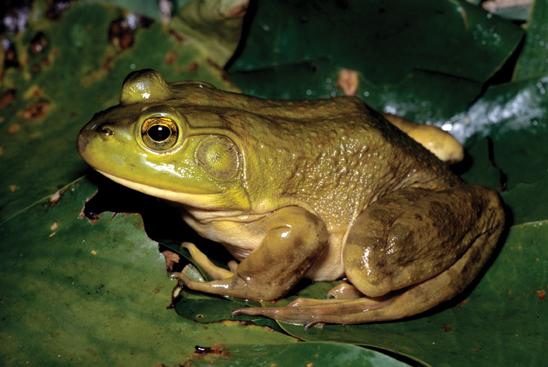 List of amphibians of Michigan